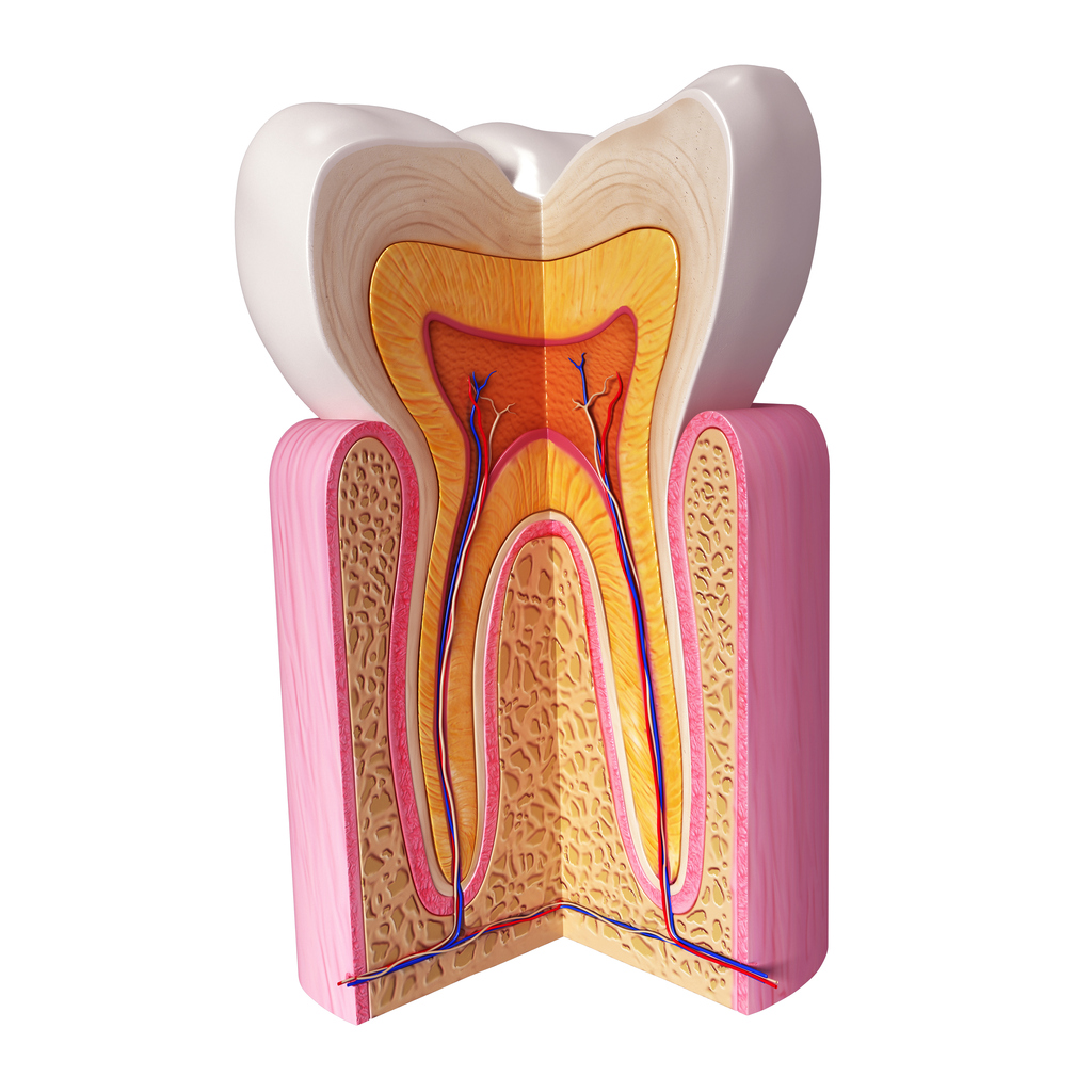 layers of the tooth