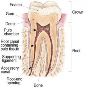 picture showing healthy anatomy of molar tooth